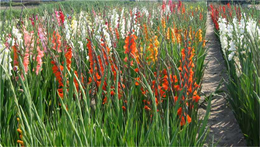 Gladiolus Cultivation in Pakistan