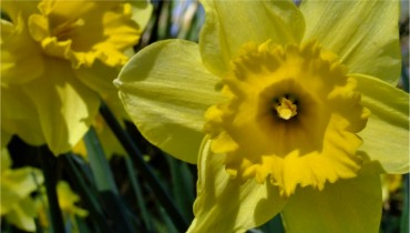 Daffodils Catalogue