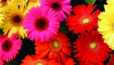Gerbera Catalogue