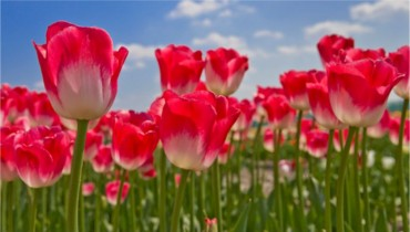 Tulips Picture Book