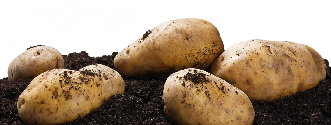 Consider The Salt-Tolerant Potato