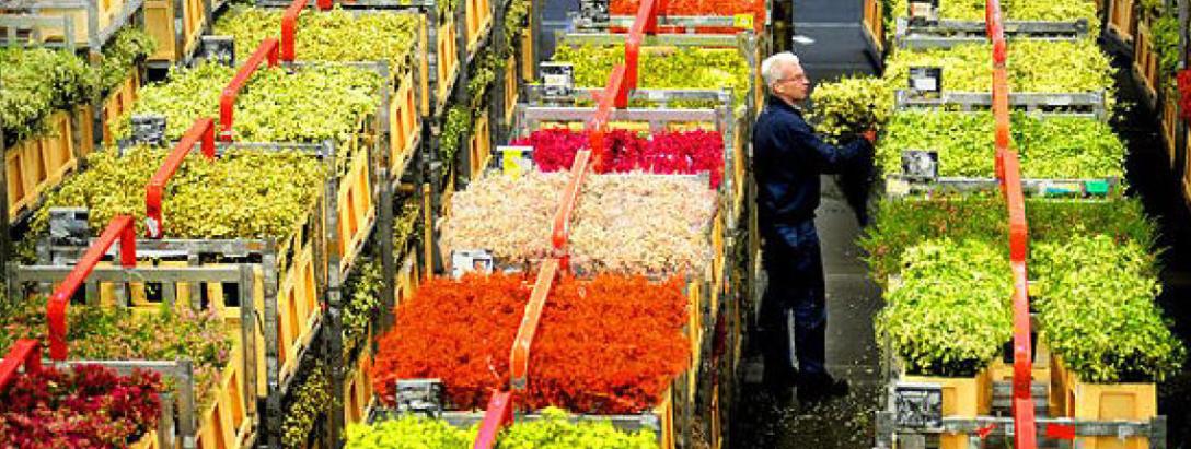 Dutch Flower Exports, World's Biggest, Slip 2.3% on Slow Economy.